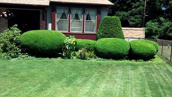 Landscaping Services: Corrective Pruning & Hedge Trimming by ArborScaper Tree & Landscape