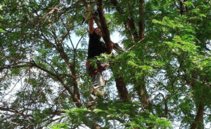 Tree Trimming or Corrective Pruning - ArborScaper Tree & Landscape Monroe County NY