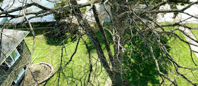 Linden Tree Removal in Monroe County
