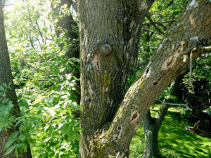 Emerald Ash Borer problem Tree removed by ArborScaper Tree & Landscape in Rochester, NY